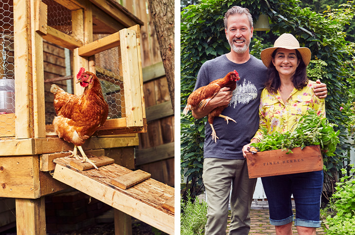 Chickens at Home for Fresh Eggs on a Daily Basis