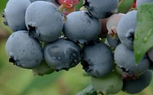 Blueberries - Granby