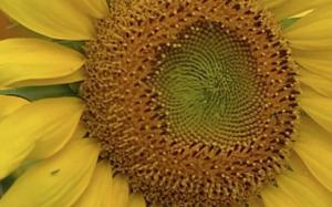 Champy - Sunflower Oil