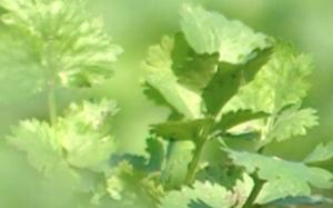 Coriander - Les Fines Herbes de Chez Nous