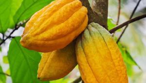 Un cacaoyer dans un jardin