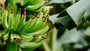 Le bananier