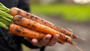 Bradford Carrots