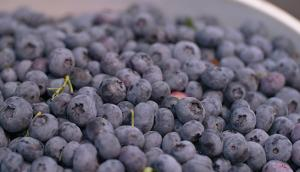 Abbotsford Cultivated Blueberries