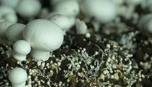 Les champignons de Leamington
