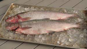 Lake Whitefish from Hay River