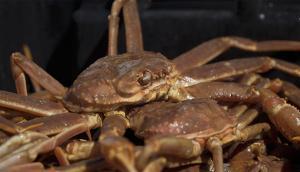 Le crabe des neiges de Bay de Verde