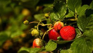 Les fraisiers de Lavaltrie