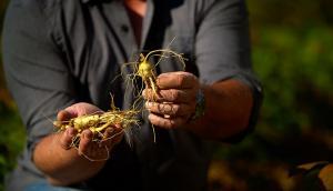 Straffordville-Grown North American Ginseng