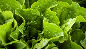 Sherrington Field Lettuce