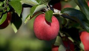 Les pommes de Newcastle
