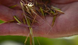 Lac La Ronge Wild Rice