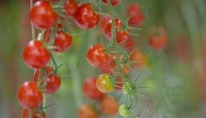The Leamington Greenhouse Tomato